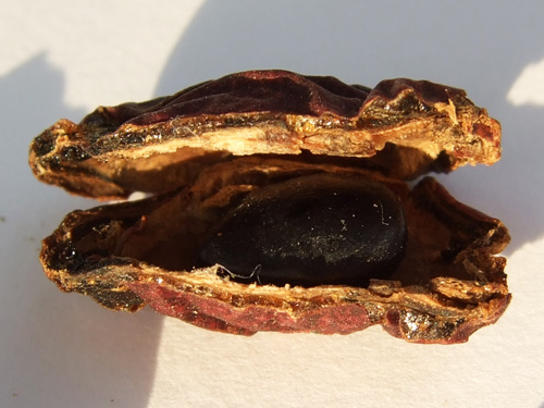 Мыльные бобы Acacia Concinna