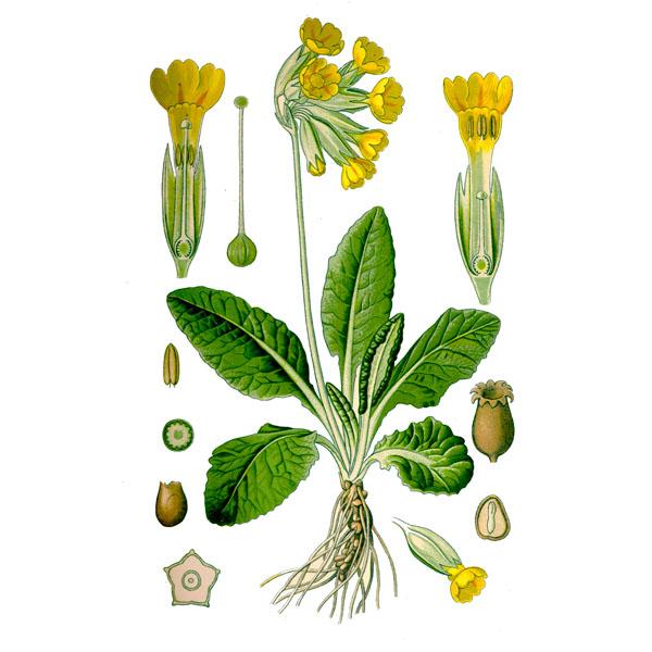Первоцвет лекарственный, трава