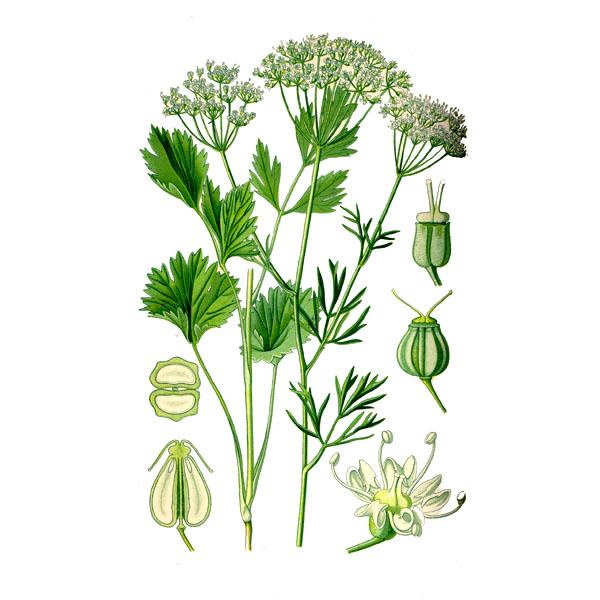 Анис, семена, Алтай, 50 гр.