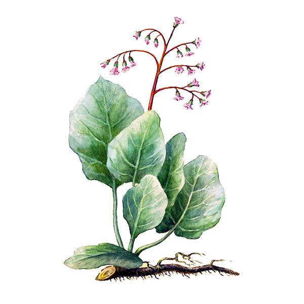 Бадан, листья