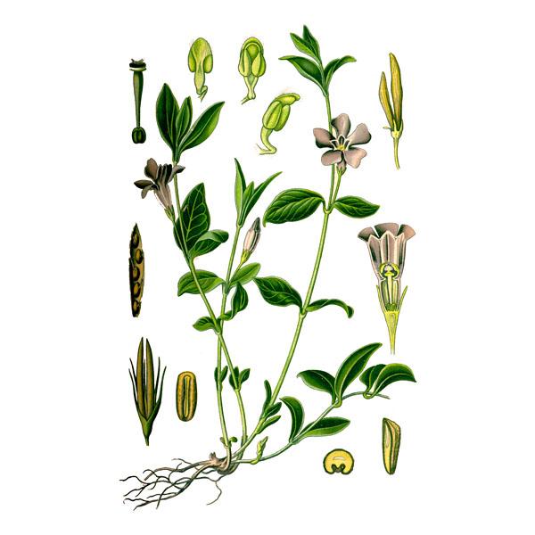 Барвинок, листья и стебли