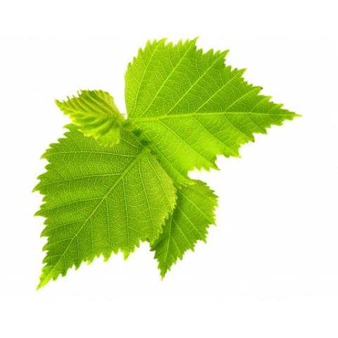Березовый лист, листья