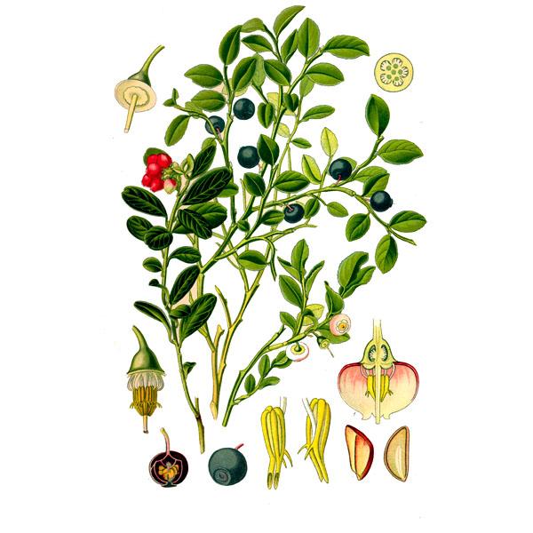 Брусника, листья