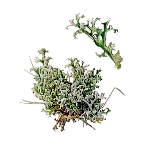 Цетрария, мох