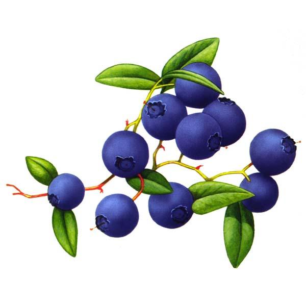 Черника ягода, плоды