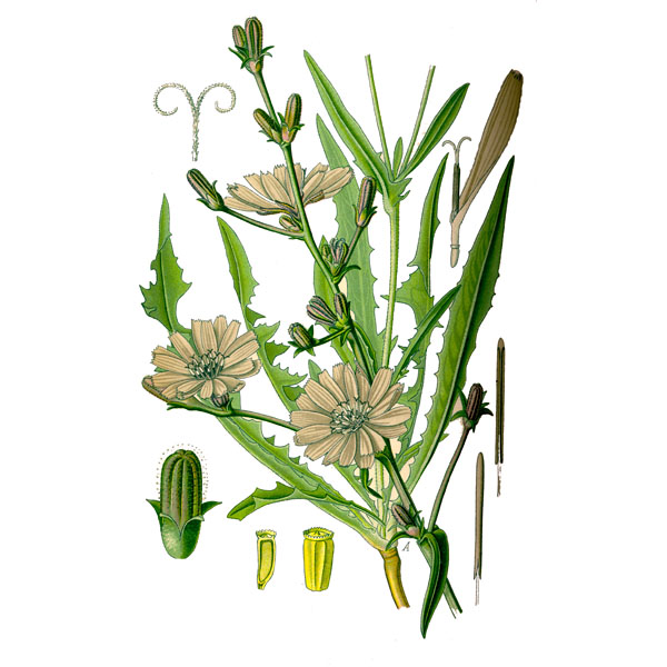 Цикорий, трава