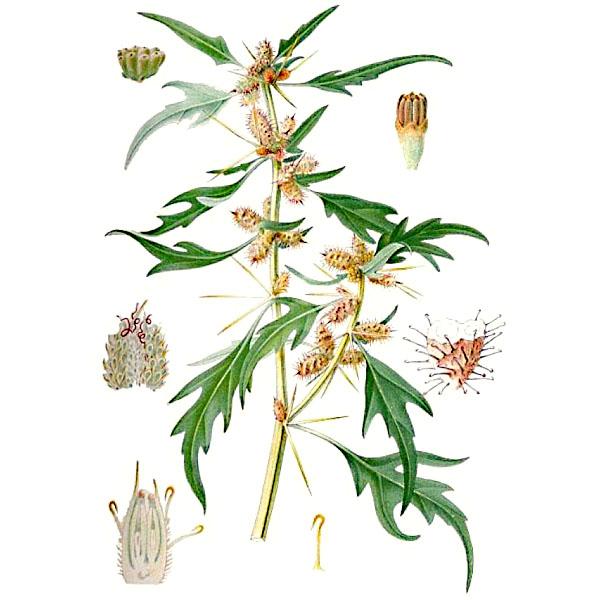 Дурнишник обыкновенный, плоды и трава