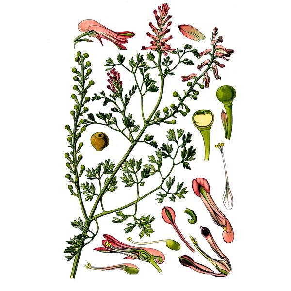 Дымянка лекарственная, трава