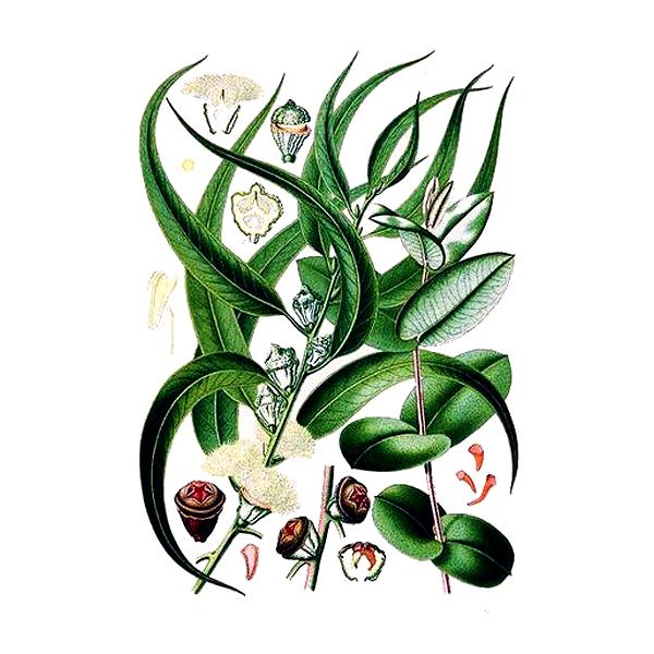 Эвкалипт, листья