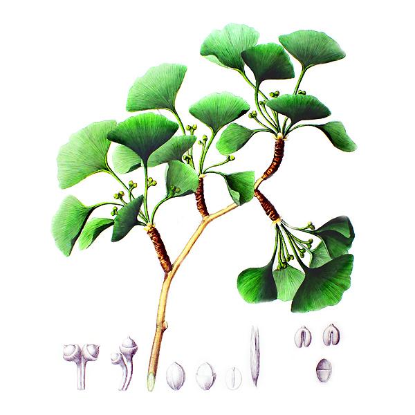 Гинкго билоба, листья