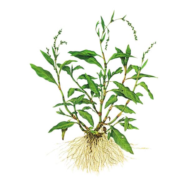 Горец перечный, трава
