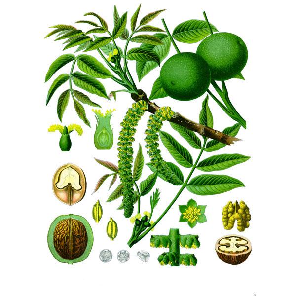 Грецкого ореха лист, листья
