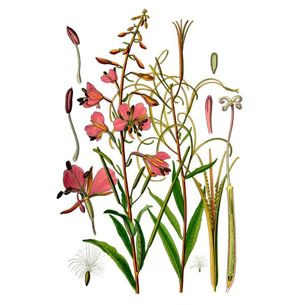 Иван-чай, трава и цветки