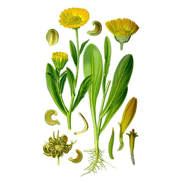 Календула, цветки, 50 гр.