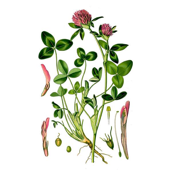 Клевер луговой, трава и цветки