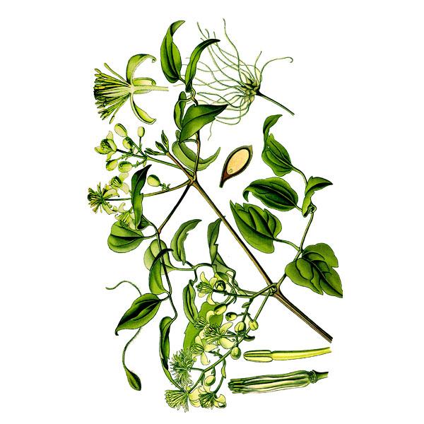 Ломонос шестилепестковый, трава