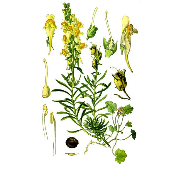 Льнянка, трава и цветки