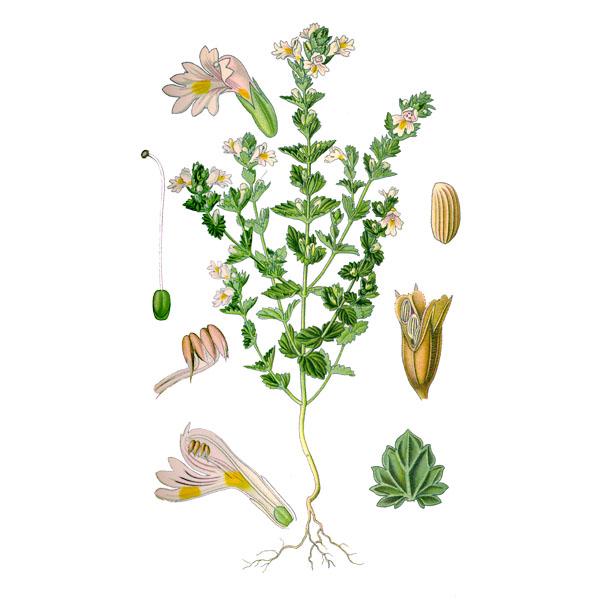 Очанка лекарственная, трава