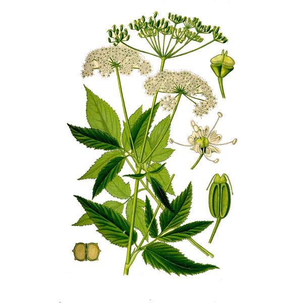 Железо Описание свойства происхождение и применение: Сныть листья и стебель лечебные полезные свойства и