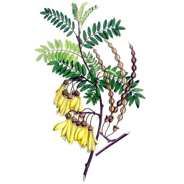 растение софора