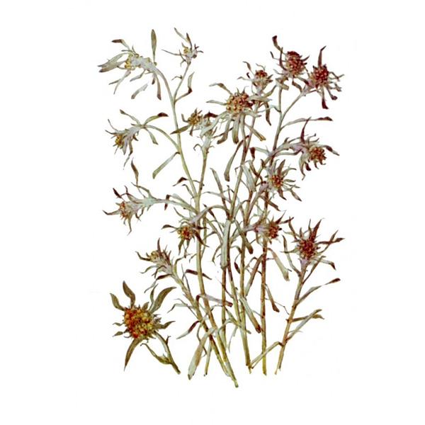 Сушеница болотная, трава