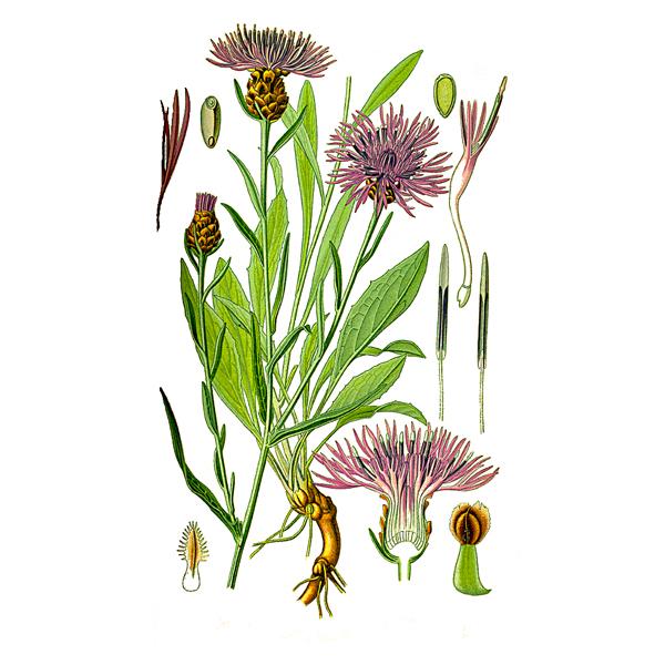 Василек луговой, цветки