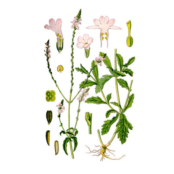 Вербена лекарственная, трава