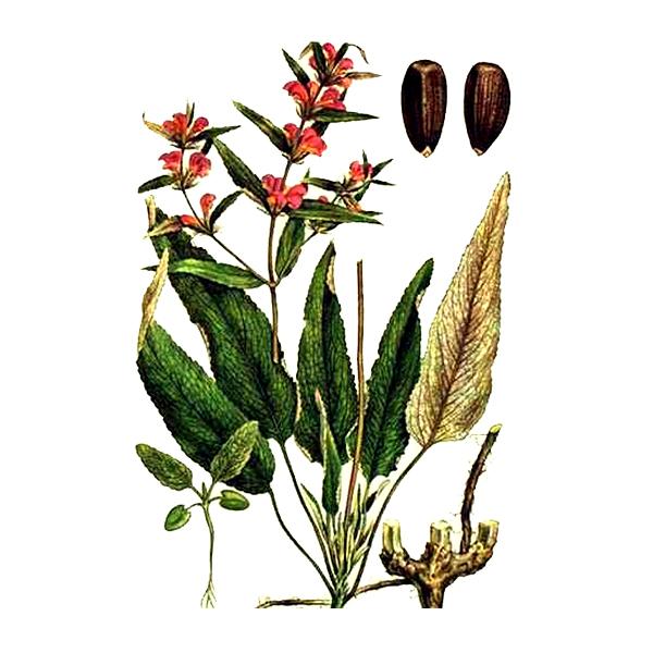 Зопник, цветки