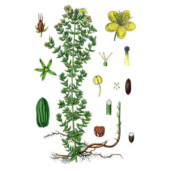 Зверобой, трава и цветки